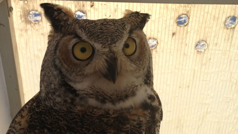 This owl was released into the wild at Shamrock School Tuesday.