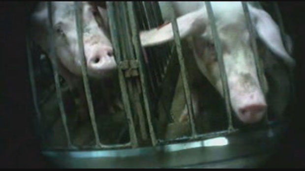 Mercy for Animals Canada released disturbing footage of animals in a Puratone Corp. hog farm in Arborg, Man.