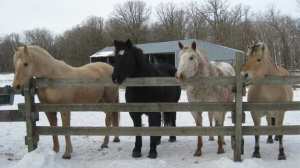 Horses waiting for their treats near Portage la Prairie. Photo by Tammy Beaulieu.