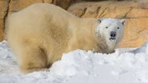 Hudson has been at the Assiniboine Park Zoo since January 2013, and was one of the first polar bears to live in the Journey to Churchill exhibit. His younger brother Humphrey came to Winnipeg in March 2015. (File Image)