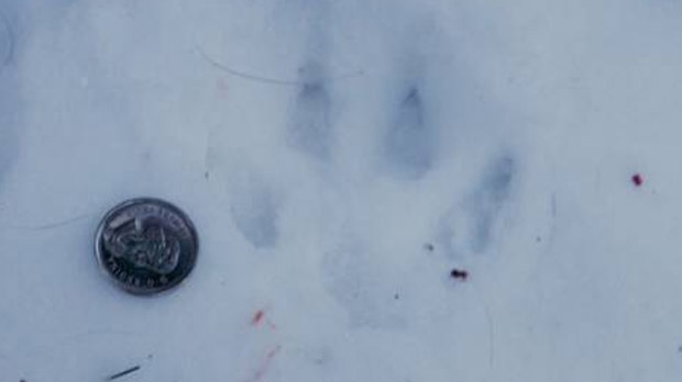 A coin sits next to a paw print near a deer carcass in Charleswood. (image courtesy Harold Strom)