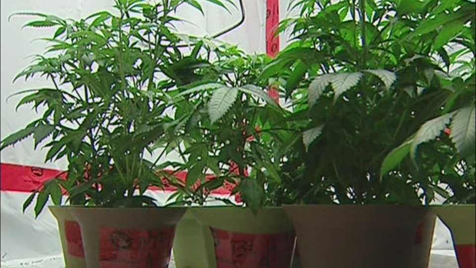 Health Canada said about 26,000 people currently have licences to produce marijuana for medical purposes.(file image)