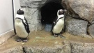 The African black-footed penguins are featured at an exhibit until the end of September at the Assiniboine Park Zoo.