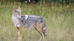 The incident comes after a number of recent coyote sightings in Kilcona Park. (AP / Daily Inter Lake, Karen Nichols, File)