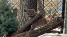Online voters have given the name Teeka to a new cougar cub at the Assiniboine Park Zoo. (file image)