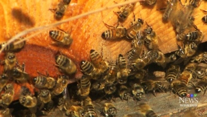 A report before council says the city should allow for rooftop beehives, with some conditions. (File image)