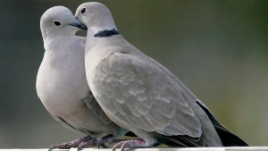 This Feb. 12, 2009, file photo shows two turtle doves in St. George Island, Fla. (AP Photo/Phil Coale)