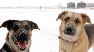 Frosted German Shepherds from Baldur, MB. Photo by Lou Gagnon.
