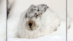 Jack Rabbit weathering the storm. Photo by Harold and Esther.