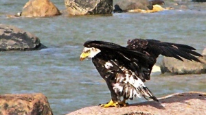Hudson Bay Eagle. Photo by Jacqueline Otto.