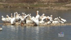 Pelican deaths spark campaign to protect