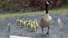 Family of geese in St. Vital Park. Photo by Kathleen Fonseca.