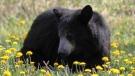 Riding Mountain Bear. Photo by Jani Witoski.