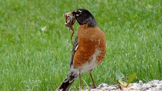 Mama Robin all excited to feed her little ones. Photo by Jeannine Porteous.