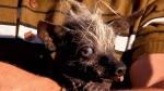 CTV News Channel: World's ugliest dog contest