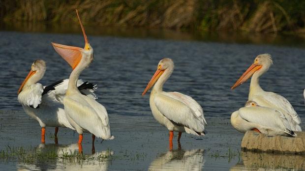 Pelicans enjoying the sun at Oak Hammock Marsh. Photo by Neil Longmuir.
