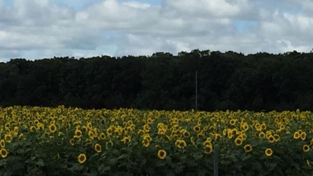 Sunflower field near Glenora. Photo by Nancy Cruikshank.