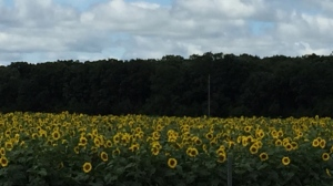 Sunflower field near Glenora. Photo by Nancy Cruikshank.