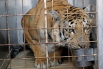 Laziz the tiger drinks water in a cage upon arrival at O.R Tambo international airport in Johannesburg, South Africa, Thursday, Aug. 25, 2016. Laziz is one of the 15 animals who were removed and rescued by an international charity from the Gaza Strip's main zoo, dubbed 'the worst in the world.' (AP Photo/Themba Hadebe)