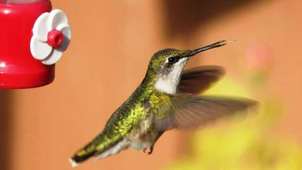Hummingbird up-close. Photo by Annette Eibner.
