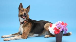 Venture Dog: Hi everyone, I'm Lady! I'm a sweet girl and I think I would make a great addition to a special family! I would need to meet any dogs I might be living with, so bring them down to say hi if you have any. My previous owner says I was very smart and I knew lots of tricks-I'd sure love if you came to meet me, and maybe I could show you some of them. I am a Venture Dog and so come with a round of free classes! If you think I might be a great fit for you, please come visit me today! I am part of the Trial To Adopt Program, and I am also FREE TO ADOPT!!!