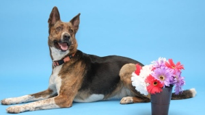 Venture Dog: Hi everyone, I'm Lady! I'm a sweet girl and I think I would make a great addition to a special family! I would need to meet any dogs I might be living with, so bring them down to say hi if you have any. My previous owner says I was very smart and I knew lots of tricks-I'd sure love it if you came to meet me, and maybe I could show you some of them. I am a Venture Dog and so come with a round of free classes! If you think I might be a great fit for you, please come visit me today! I am part of the Trial To Adopt Program, and I am also FREE TO ADOPT!!!