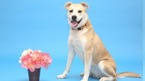Hey there, I'm Chelsey! I'm a sweet girl but I like to take things slow; it can take me a little while to warm up to new people. Please don't take it personally though! If you take me for a walk or play fetch with me, you'll see my happy personality for sure. I would do best in a more experienced home with people who have time and patience to help me become the best dog I can be. I'm sweet and playful, and think I could become a wonderful pet. Please come meet me today!