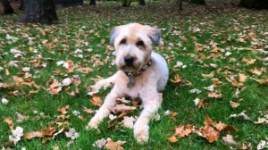 Paris our wheaten terrier enjoying fall. Photo by Lisa Lagasse.