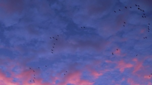 Early morning migration. Photo by Tracey Holden.