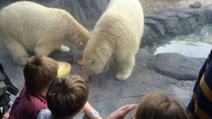 Hudson has been at the Assiniboine Park Zoo since January 2013, and was one of the first polar bears to live in the Journey to Churchill exhibit. His younger brother Humphrey came to Winnipeg in March 2015. (Source: Cheryl Holmes/CTV News)