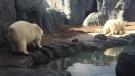 Humphrey (left) and Hudson roam around their enclosure at the Assiniboine Park Zoo on Sept. 30, 2016. (Photo: Cheryl Holmes/CTV Winnipeg)