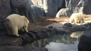 Humphrey (left) and Hudson roam around their enclosure at the Assiniboine Park Zoo on Sept. 30, 2016. (Photo: Cheryl Holmes/CTV Winnipeg)