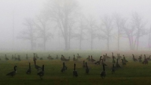 Geese prepping up for Halloween at Maple Grove Park. Photo by Katherine Dane.