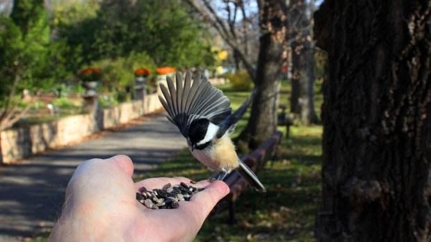 A Black-Capped Chickadee on a crisp Autumn morning. Photo by Allan Robertson.