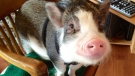 Emily Sydor was ordered to remove the pig from her home because it's a bylaw violation to have the animal. (Source: Emily Sydor)