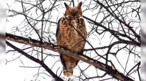 Owl in Winnipeg's West End. Photo by Kevin Kardashinski.