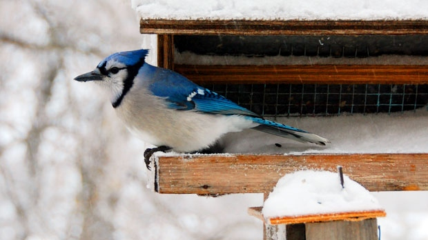 A Blue Jay enjoying sunflower seeds and snow. Photo by Elaine Morrison.