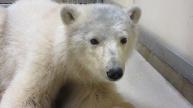 Second polar bear orphan at Winnipeg zoo; late freeze-up causing problems