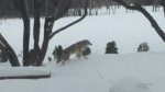 Multiple coyote sightings in East Kildonan