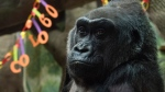 Colo, the world's first gorilla born in a zoo, sits inside her enclosure during her 60th birthday party at the Columbus Zoo and Aquarium in Columbus, Ohio, on Dec. 22, 2016. (Ty Wright / AP)