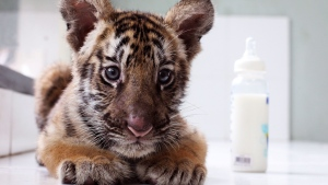 Sari, a two-month-old Bengal tiger cub, sits at a nursery in the Bali Zoo in Bali, Indonesia, Monday, Jan. 16, 2017. Sari was born on November 9 last year. (AP Photo/Firdia Lisnawati)