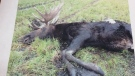 A picture of a moose left behind after being shot by night hunters. Scott Phillips, a councillor in the RM of Sifton, said he disagrees with the practice of night hunting -- also called spotlight hunting, but he also disagrees with the premier's choice of words. (Source: Scott Phillips)