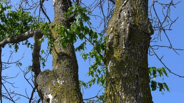 'Peg ash trees under double-threat