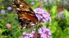 The zoo is hosting the Butterfly Safari Weekend, running Friday to Sunday at the Shirley Richardson Butterfly Garden. (File Image: Karen E. Kilgour-Klann)