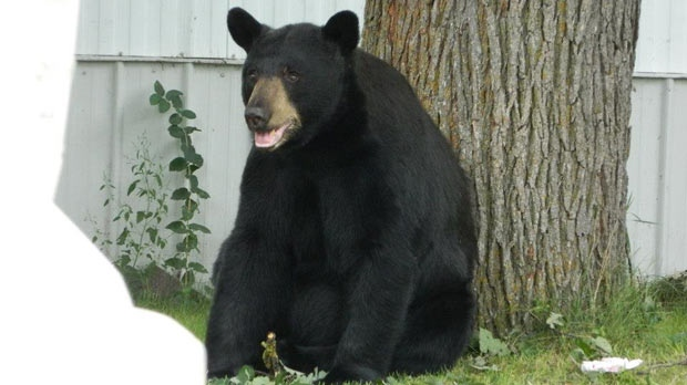 The province is warning residents about increased black bear activity. (file image / Majel Usiski)