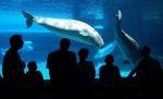 Tourists line up at a viewing area to see two Marineland attractions, a Killer Whale calf swimming with its mother and a small pod of Beluga Whales in Niagara Falls, Ont. on Wednesday July 18, 2001. (Scott Dunlop / THE CANADIAN PRESS)