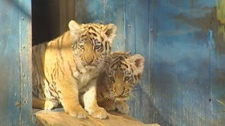 Amur tiger cubs in Winnipeg